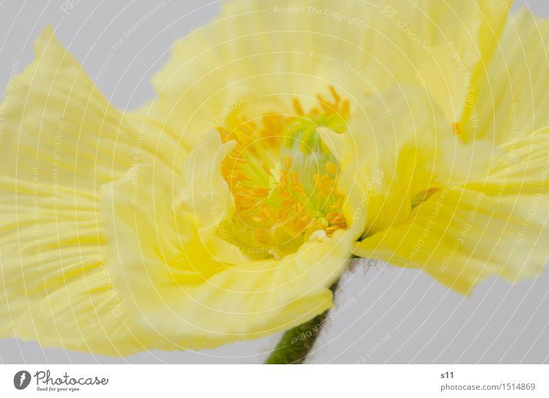 Gelber Mohn Pflanze schön Blume gelb Blüte Frühling frisch leuchten elegant gold Blühend Stengel Duft Blütenblatt Glätte