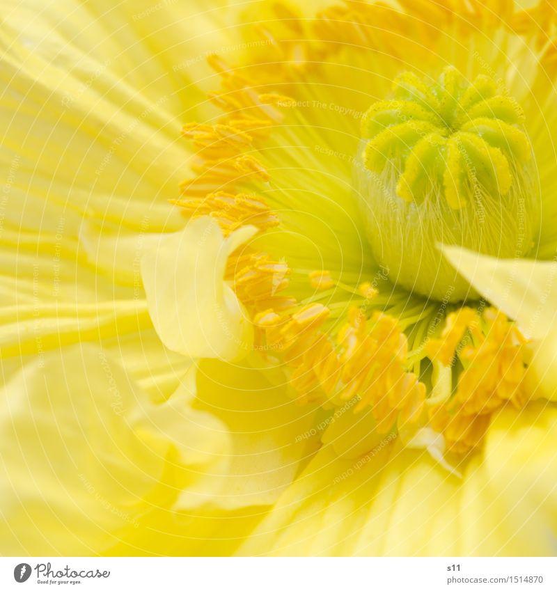 Mohnblüte Pflanze schön Blume gelb Blüte Frühling natürlich frisch leuchten elegant Blühend rund zart Falte Duft Mohn