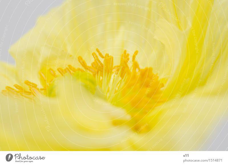 Gelbe Mohnblüte Pflanze schön Blume gelb Wärme Blüte Frühling natürlich leuchten elegant gold Blühend Geschenk zart dünn Falte