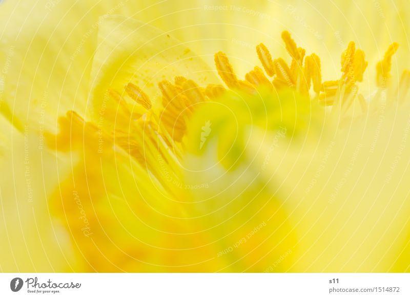 Gelbe Mohnblüte II Pflanze Blume Blüte Blühend Duft leuchten verblüht dünn fein zart Glätte Falte Frühlingsgefühle elegant schön natürlich Wärme gelb gold Mitte