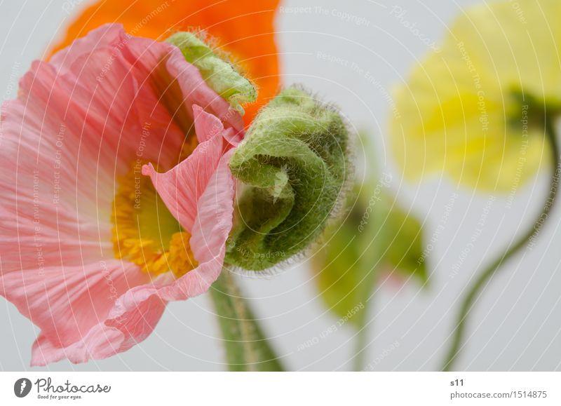 tanzender Mohn Pflanze grün schön Blume rot gelb Blüte Frühling natürlich rosa Behaarung elegant authentisch Blühend Falte Stengel
