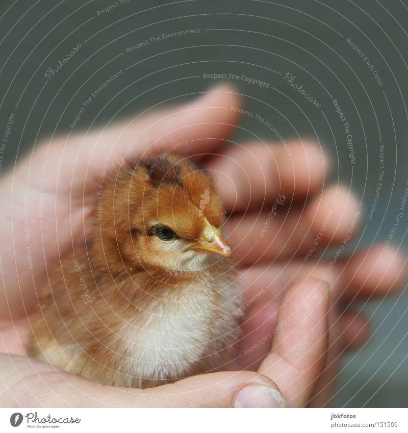 IN GUTEN HÄNDEN Haut Leben Freiheit Hand Tier Nutztier Vogel Küken Geborgenheit behüten 1 Tierjunges Liebe Sicherheit Schutz Ei Feder neugeboren zart klein
