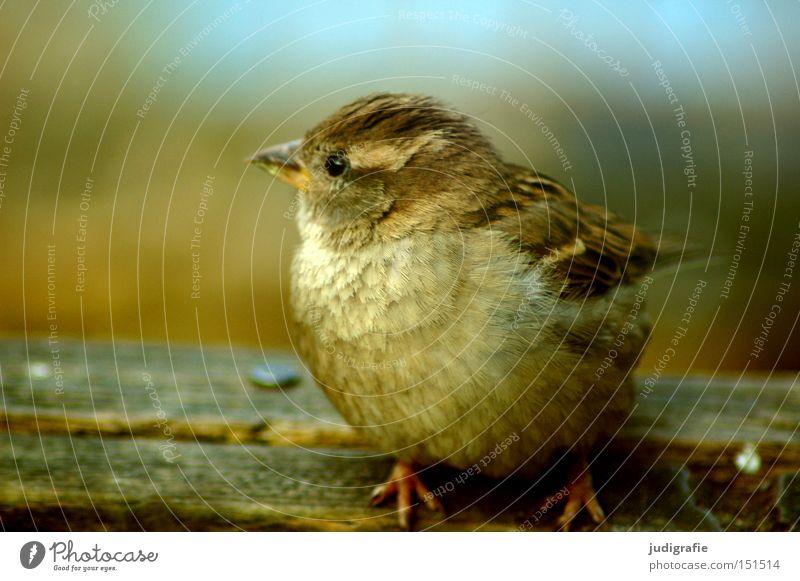 Spatz Natur Farbe Tier Umwelt klein Vogel Feder niedlich Spatz Federvieh Singvögel
