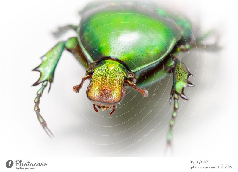Rosenkäfer Käfer 1 Tier krabbeln glänzend grün bizarr Natur schillernd schimmern Farbfoto Makroaufnahme Porträt