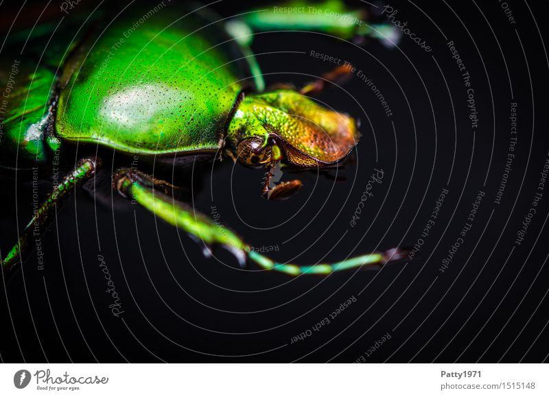 Rosenkäfer Käfer Protaetia aeruginosa 1 Tier krabbeln glänzend grün bizarr Natur schillernd schimmern Farbfoto Makroaufnahme Tierporträt