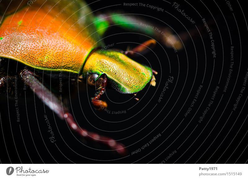 Rosenkäfer Käfer 1 Tier krabbeln glänzend gelb orange bizarr Natur schillernd schimmern Farbfoto Makroaufnahme Tierporträt