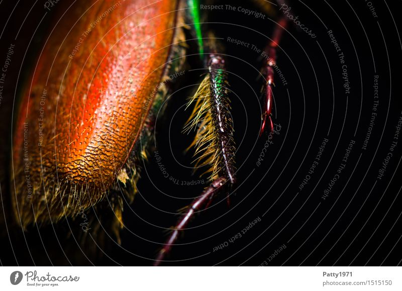 Rosenkäfer Käfer Beine 1 Tier krabbeln glänzend stachelig orange bizarr Natur schillernd schimmern Farbfoto Makroaufnahme