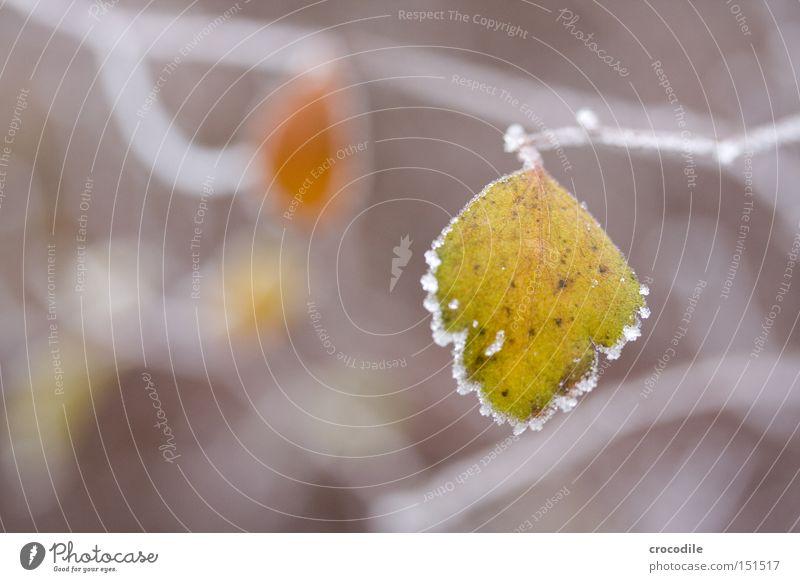 Frozen Leaf Blatt Frost gefroren Ast Eis grün Winter Photosynthese braun Makroaufnahme Nahaufnahme Schnee