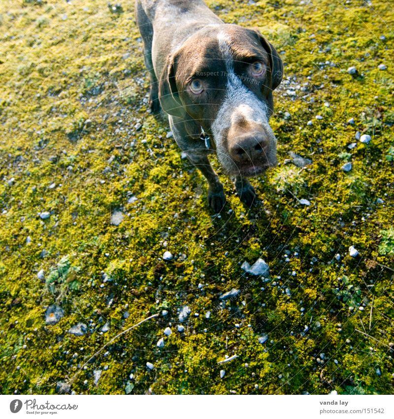 Unschuldig Hund Tier Jäger Schnee Moos oben Herbst grün Blick kaputt Fehler Stein Jagd Vertrauen Säugetier deutsch kurzhaar fassungslos Entschuldigung