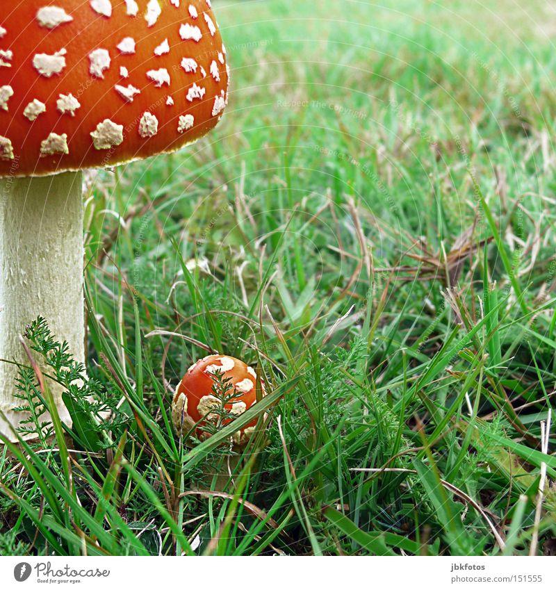 GEBRATEN ODER FRITIERT IMMER EIN LECKERBISSEN Pilz Fliegenpilz Hut Schirm Verschiedenheit Gras Vorsicht Gift gefährlich Lebensmittel Illusion Stengel