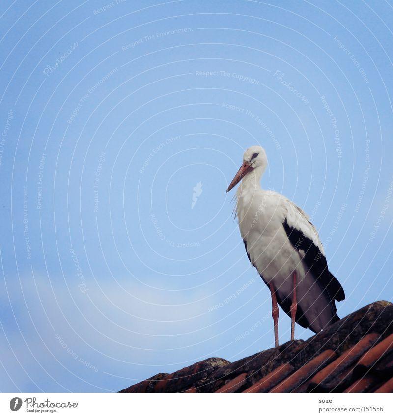 Klipp-Klapp-Klapperstrauß Himmel blau rot Tier Glück Vogel stehen Beginn Feder Dach Lebensfreude Zeichen Hoffnung Wunsch Glaube Tradition