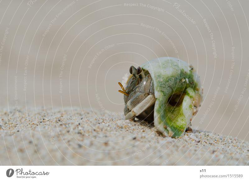 Crab grün Tier Strand Auge lustig Beine Sand Wildtier genießen beobachten Sonnenbad Wachsamkeit Tiergesicht krabbeln Vorsicht Ekel