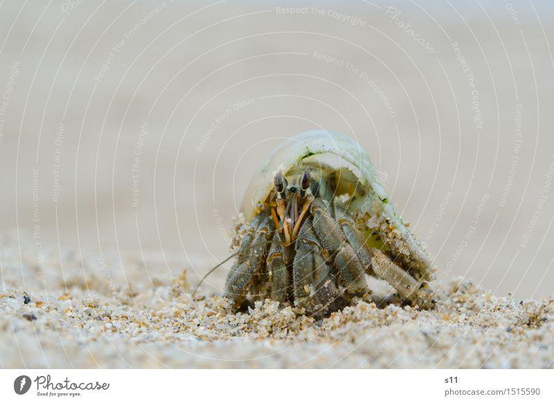 Crab II Tier Tiergesicht Krebstier Stielauge Fühler Beine Schere Schneckenhaus 1 Geschwindigkeit braun grün Auge beobachten genießen achtsam Wachsamkeit