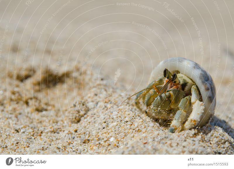 Another Crab Tier Wildtier Krebstier Stielauge Fühler Krustentier Tiergesicht Beine Muschelschale 1 lustig klug braun grün Auge beobachten genießen Wachsamkeit