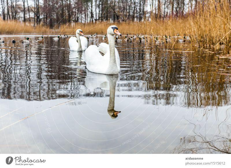 schwäne Tier Wildtier Schwan 2 elegant Freundlichkeit nass weiß Mühlenteich Teich See Rostock Mecklenburg-Vorpommern Deutsch Paar Entenvögel schilf Farbfoto