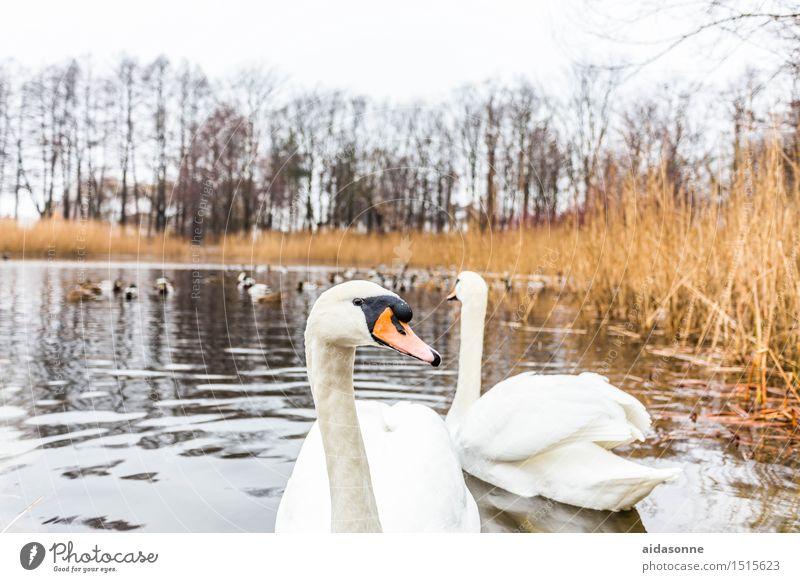 schwäne Tier Nutztier Vogel 2 Schwimmen & Baden positiv weiß Romantik Schwan Paar mühlenteich Teich See Küste Schilfrohr Entenvögel Rostock Farbfoto