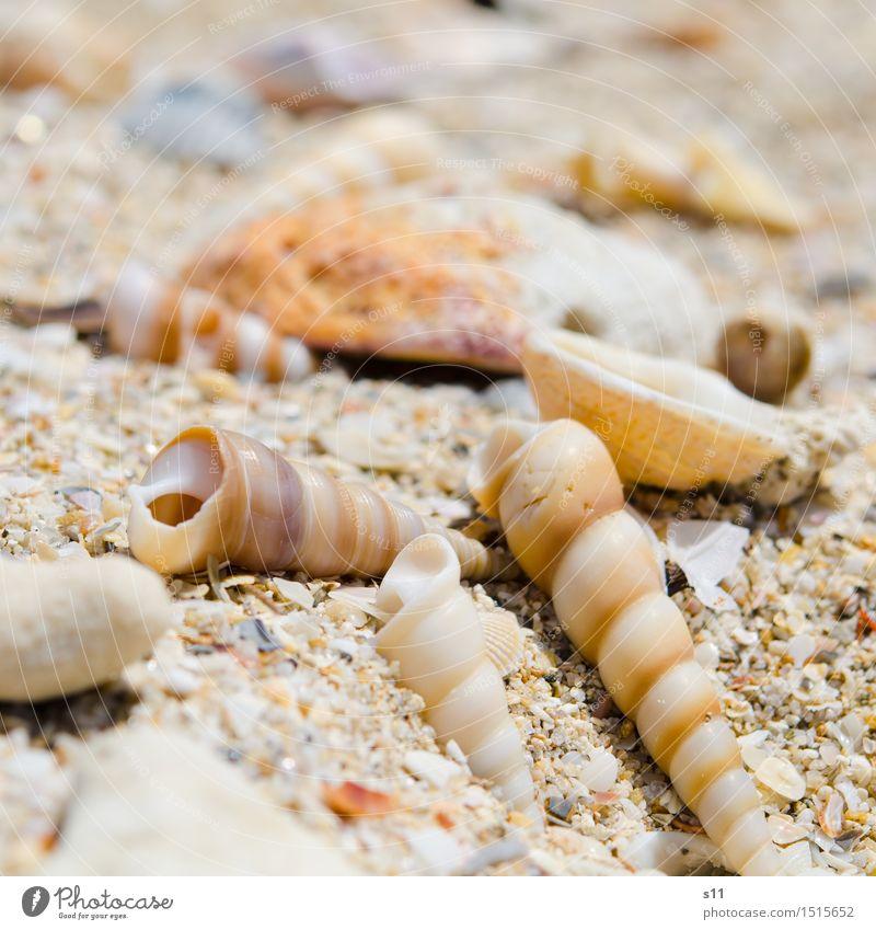 angeschwemmt Natur Erde Sand Sommer Strand Muschel einzigartig schön Ferien & Urlaub & Reisen Meer Suche finden Sammlung Wärme Schneckenhaus Wasserschnecken