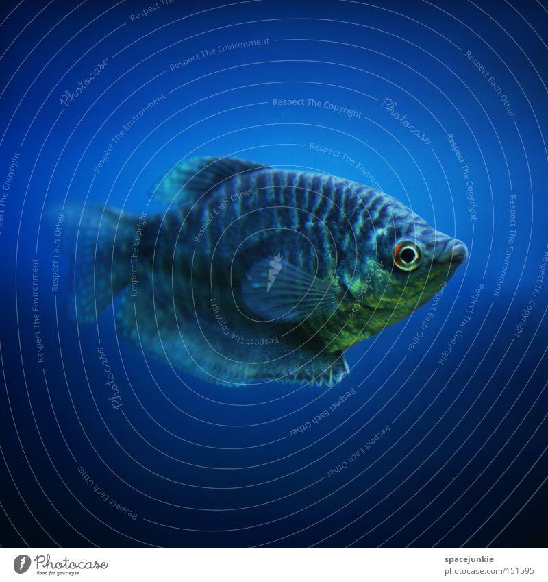 Fisch blau Wasser Meer Freude Auge See tauchen Unterwasseraufnahme Aquarium Schnauze Flosse Kopfschuppe Tiefsee