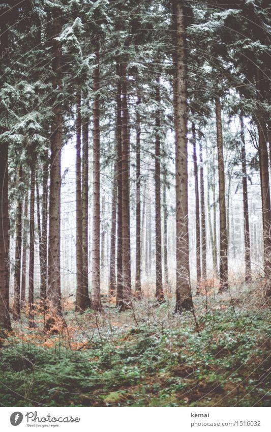 Kaltwald Umwelt Natur Landschaft Pflanze Winter Eis Frost Schnee Baum Wald frisch kalt braun grün ruhig eisig trist Waldeinsamkeit Farbfoto Gedeckte Farben