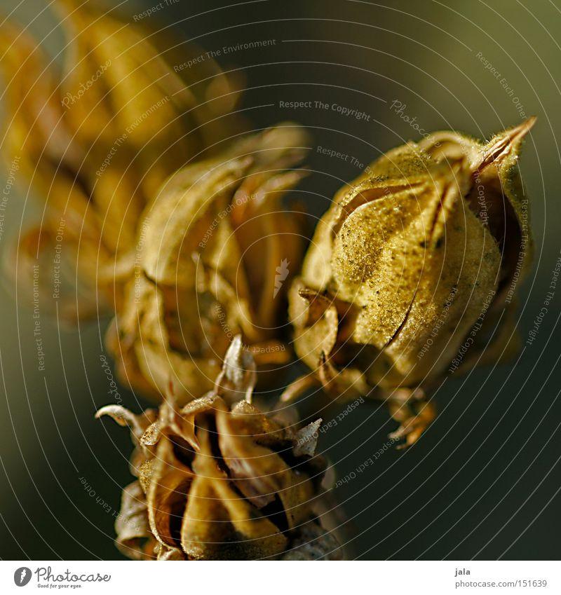 quatro Pflanze Winter getrocknet vertrocknet Trockenblume Blütenknospen Blattknospe Makroaufnahme Nahaufnahme Detailaufnahme Natur Park