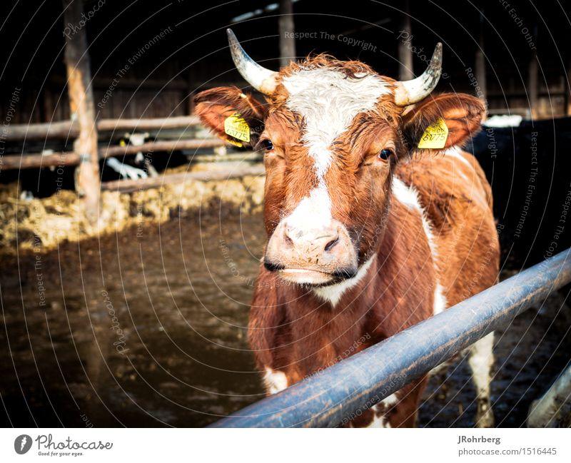Bio-Kuh auf dem Bauernhof Natur Ferien & Urlaub & Reisen Sommer Erholung Tier Umwelt Freizeit & Hobby ästhetisch Ausflug Tiergruppe beobachten Schönes Wetter