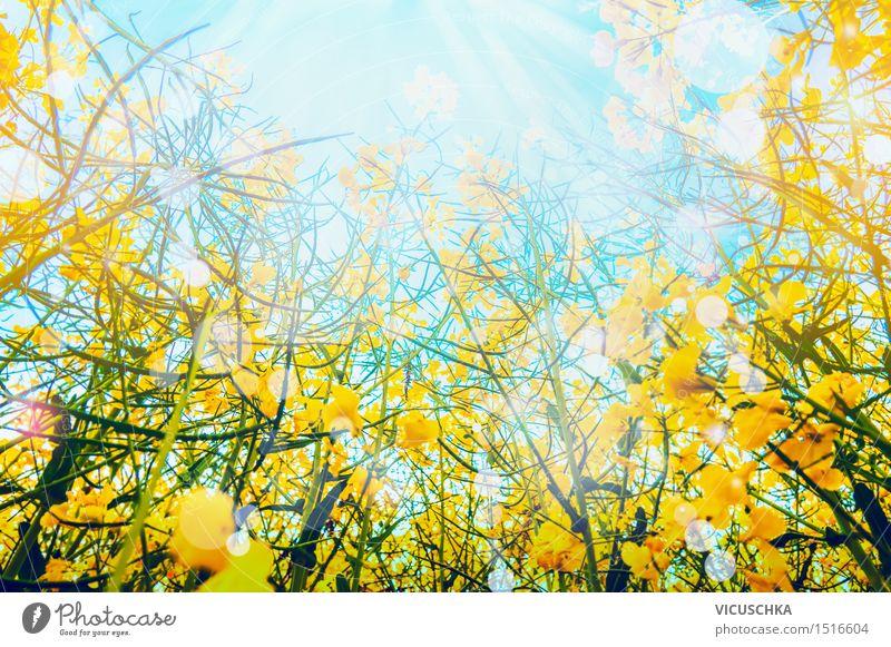 Raps Blüten über Sonne und Himmel Hintergrund Lifestyle Stil Sommer Sommerurlaub Natur Sonnenlicht Schönes Wetter Pflanze Blatt Wiese Feld Blühend gelb Design