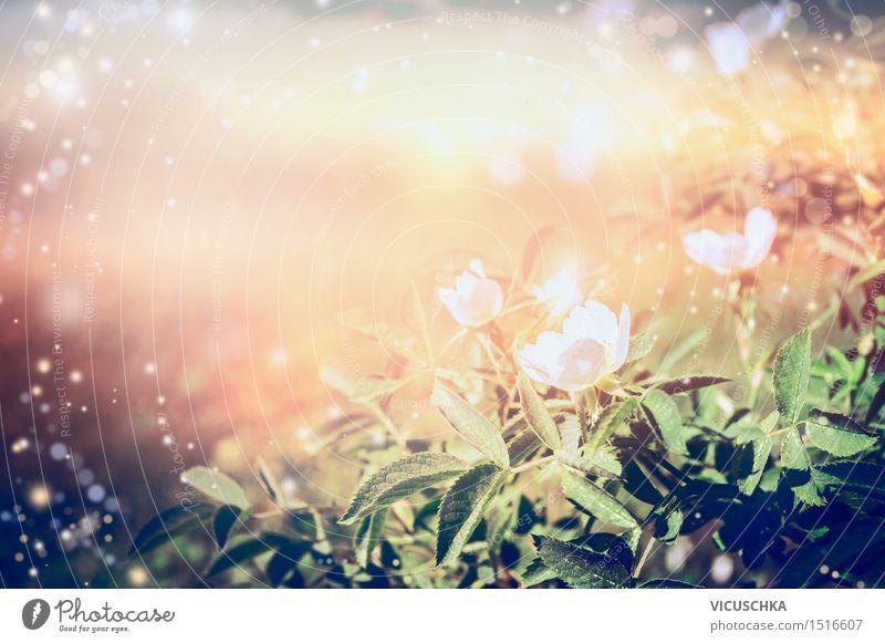 Weiße Hagebutten über Sonnenuntergang. Natur Hintergrund Natur Pflanze Sommer Blume gelb Wärme Blüte Herbst Hintergrundbild Lifestyle Garten rosa Design Park Sträucher Schönes Wetter