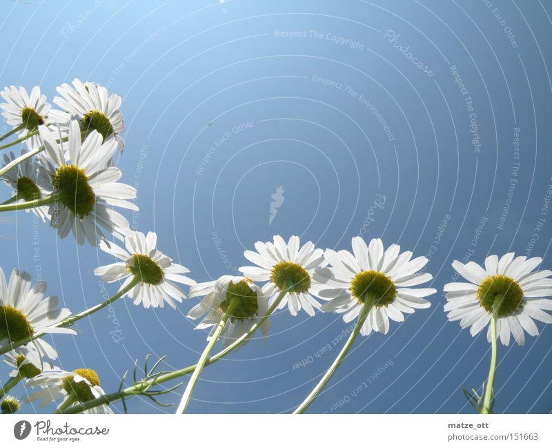 Kleine Blumen ganz groß Himmel Pflanze Sommer Blüte Frühling Gänseblümchen
