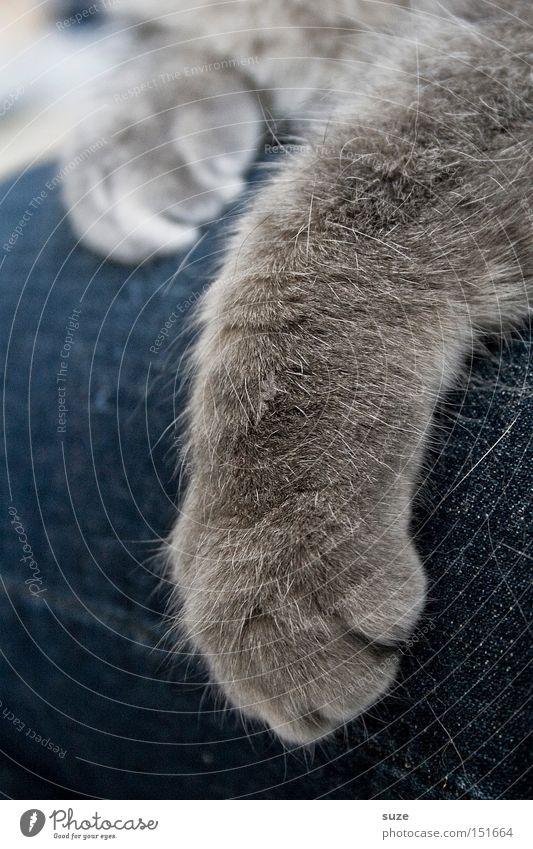 Liebe Miez Katze grau Freundschaft Zusammensein Zufriedenheit liegen Warmherzigkeit weich Fell Jeanshose Hose Haustier Pfote Säugetier Geborgenheit kuschlig