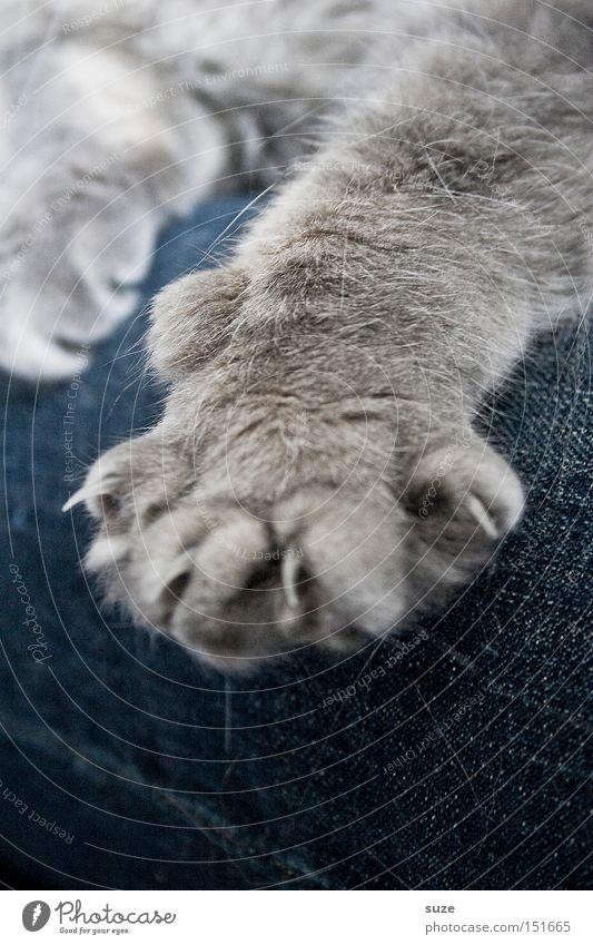 Böse Miez Tier Erholung grau Katze Freundschaft Zusammensein sitzen Sicherheit Jeanshose weich Schutz Fell Warmherzigkeit Hose Säugetier