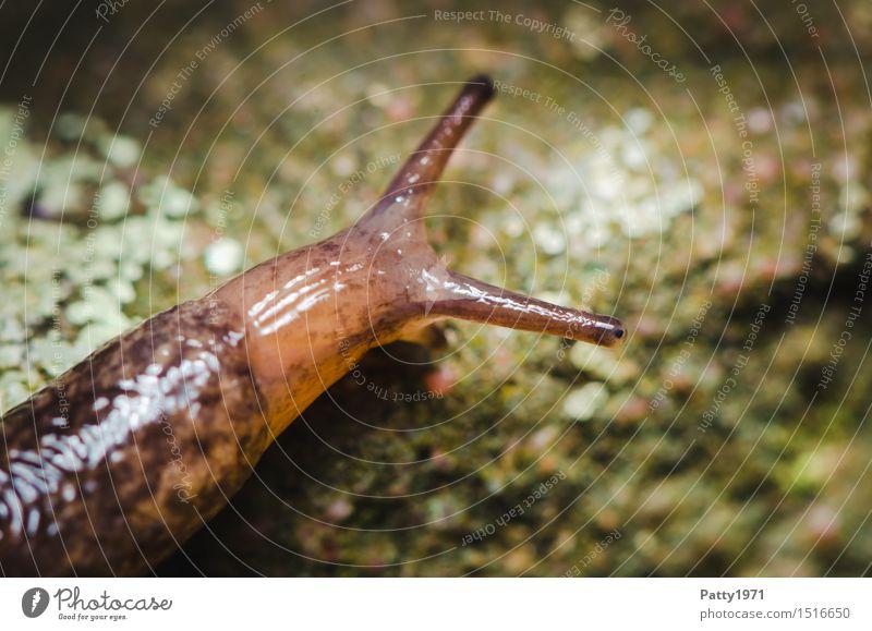 Nacktschnecke Tier braun Geschwindigkeit Schnecke langsam schleimig Nacktschnecken bedächtig Stielauge