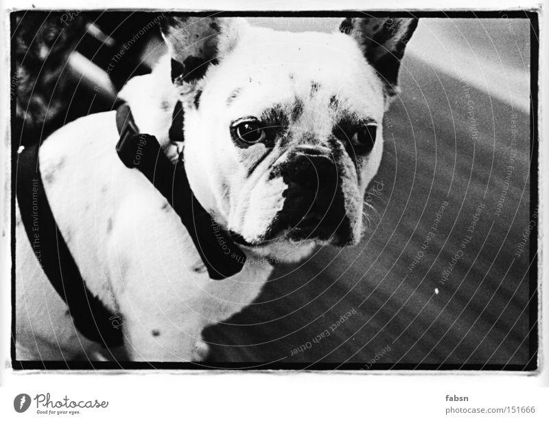 MANNI Schielen Hund Langeweile Dogge Frankreich Bulldogge Fernfahrer Silberblick Mörder Säugetier french black white fass manni