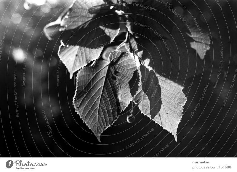 Mono Blattrausch Baum Blatt Herbst Gefühle Park Wohnung analog Potsdam Buche Saum Heiligenschein