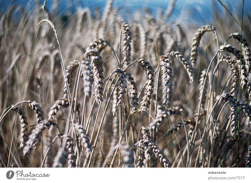 Getreide Feld Herbst Nahaufnahme
