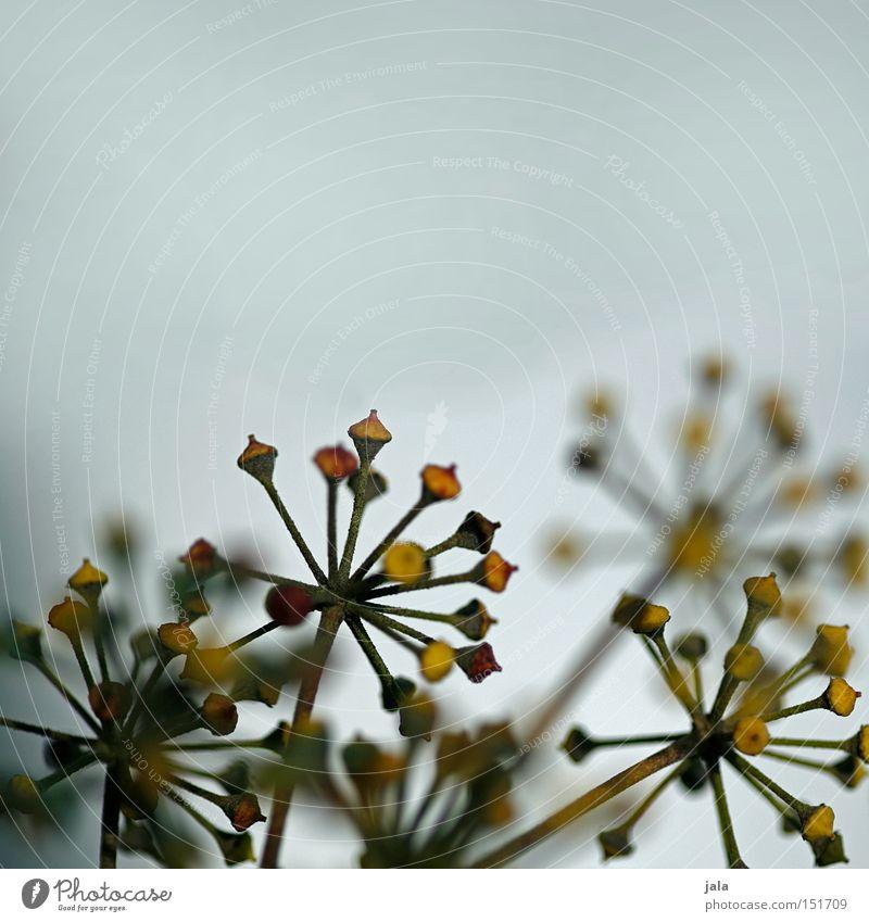 verblüht Natur Pflanze Winter Blüte Park Blütenknospen vertrocknet Blattknospe getrocknet Trockenblume
