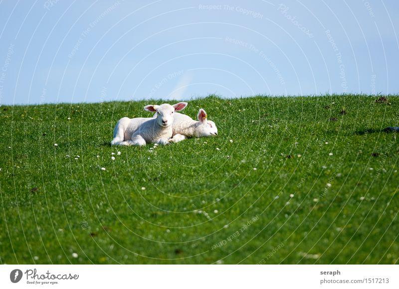 Lämmer Himmel Landschaft ruhig Tier Tierjunges Wiese Gras klein niedlich schlafen Ostern Landwirtschaft Fell Müdigkeit Säugetier Schaf