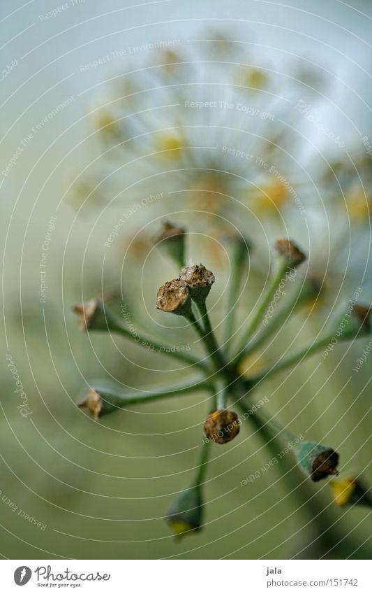 verblüht II Pflanze Winter getrocknet vertrocknet Trockenblume Blütenknospen Blattknospe Makroaufnahme Nahaufnahme Detailaufnahme Natur Park