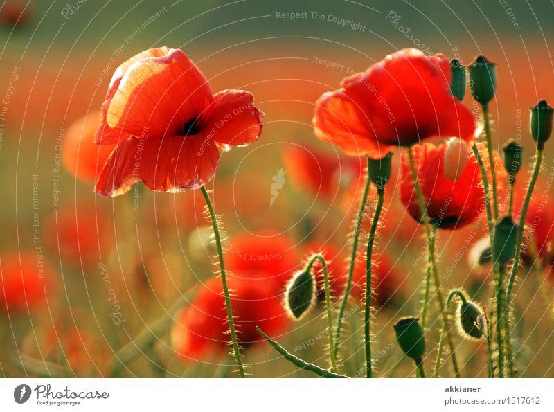 Wenn jetzt Sommer wär... Natur Pflanze schön grün Landschaft rot Blume Wärme Umwelt Blüte natürlich Wiese Garten hell Park