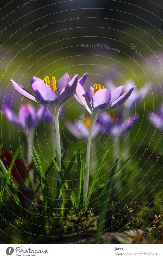 der lenz.... Pflanze Frühling Schönes Wetter Blume Blüte Park Blühend ästhetisch Duft frisch glänzend hell natürlich Vorfreude ruhig Hoffnung Natur Krokusse