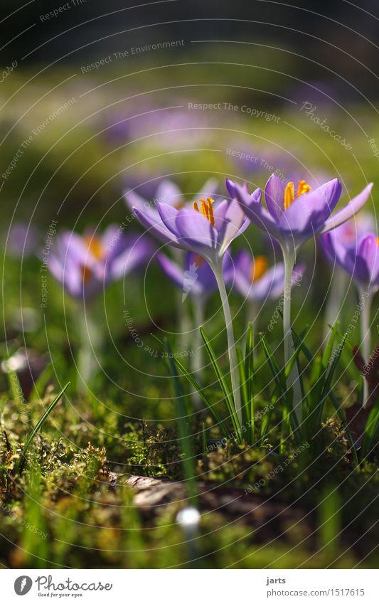 aufblühen Pflanze Schönes Wetter Blume Blüte Garten Park Blühend Wachstum Duft frisch natürlich schön Natur Frühling Krokusse Farbfoto mehrfarbig Außenaufnahme