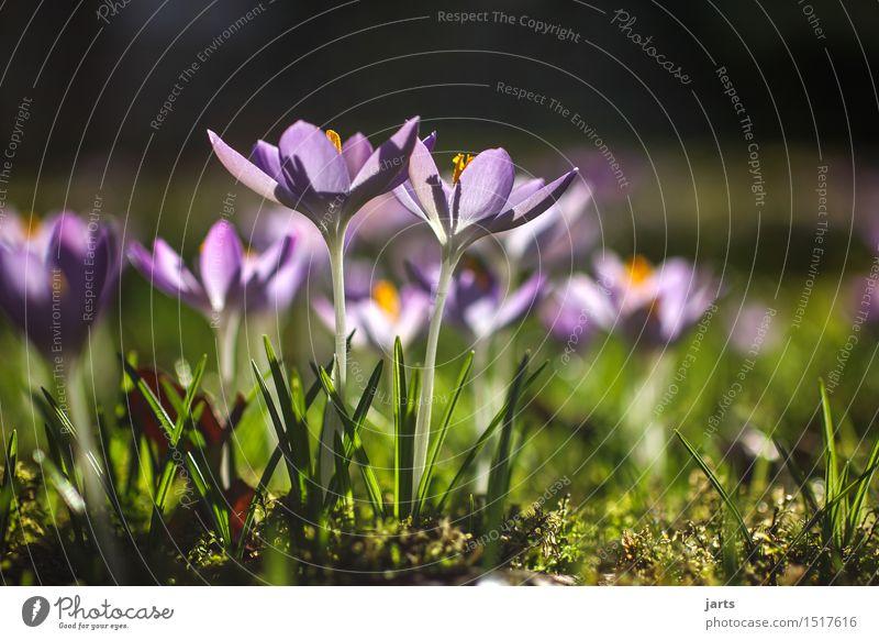 frühling Pflanze Frühling Schönes Wetter Blume Blüte Grünpflanze Park Blühend hell natürlich schön Frühlingsgefühle Gelassenheit ruhig Hoffnung Natur Krokusse