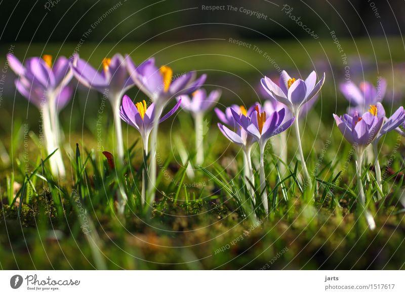 blumenwiese Natur Pflanze Frühling Schönes Wetter Blume Blüte Park Wiese Blühend ästhetisch frisch glänzend natürlich schön Neuanfang Krokusse Farbfoto