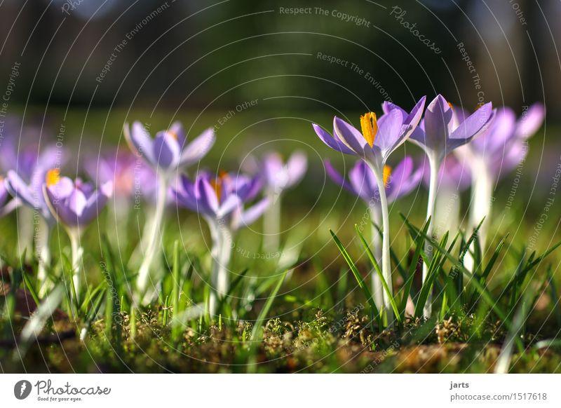 lenz I Pflanze Frühling Schönes Wetter Blume Grünpflanze Park Blühend frisch natürlich saftig schön Natur ruhig Krokusse Farbfoto mehrfarbig Außenaufnahme