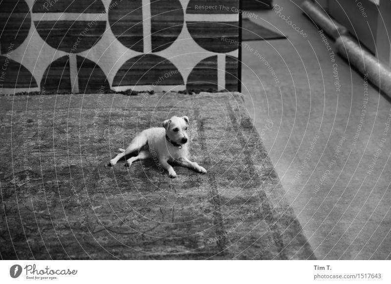 Teppichladen Berlin Tier Haustier Hund 1 Leichtigkeit Ladengeschäft Schwarzweißfoto Außenaufnahme Innenaufnahme Menschenleer Textfreiraum rechts