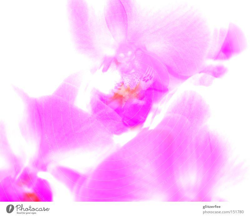 light orchid Orchidee Blume rosa Blüte mädchenhaft Topfpflanze Asien Pflanze Botanik Kelchblatt Überbelichtung schön phalaenopsis clean mehrfarbig