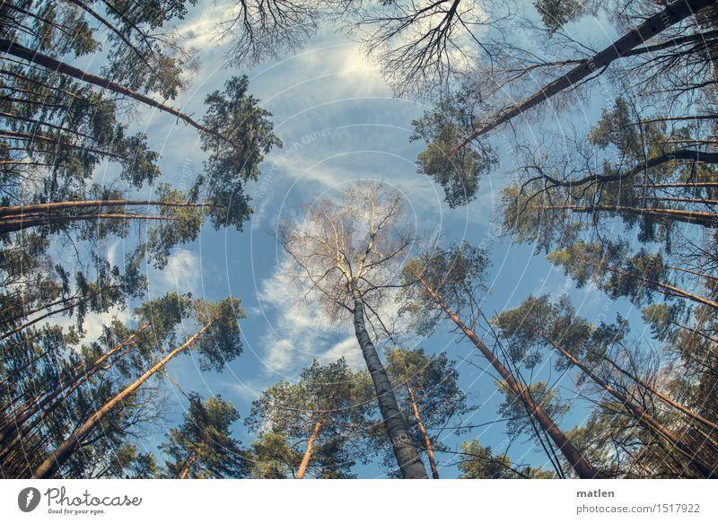 die linden Lüfte sind erwacht Natur Pflanze Himmel Wolken Frühling Wetter Schönes Wetter Baum Wildpflanze Wald Menschenleer blau braun grün weiß Kiefer Birke