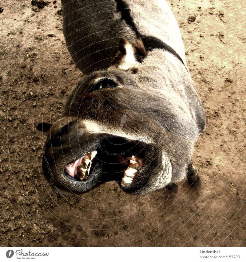 Hungriger Esel / Hungry Donkey Tier Pferd Gebiss Appetit & Hunger Fressen Säugetier betteln
