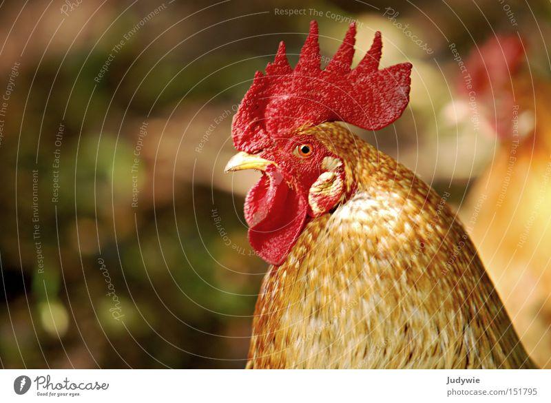Ein stolzes Tier rot Tier Herbst braun Vogel klein fliegen Sicherheit Luftverkehr Feder Schnabel Stolz Haushuhn Hochmut Hahn Kamm