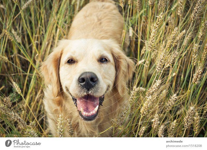 Goldener Apportierhund, der an der Kamera lächelt Freude Freiheit Umwelt Natur Pflanze Haustier Hund genießen Lächeln lustig niedlich wild Golden Retriever