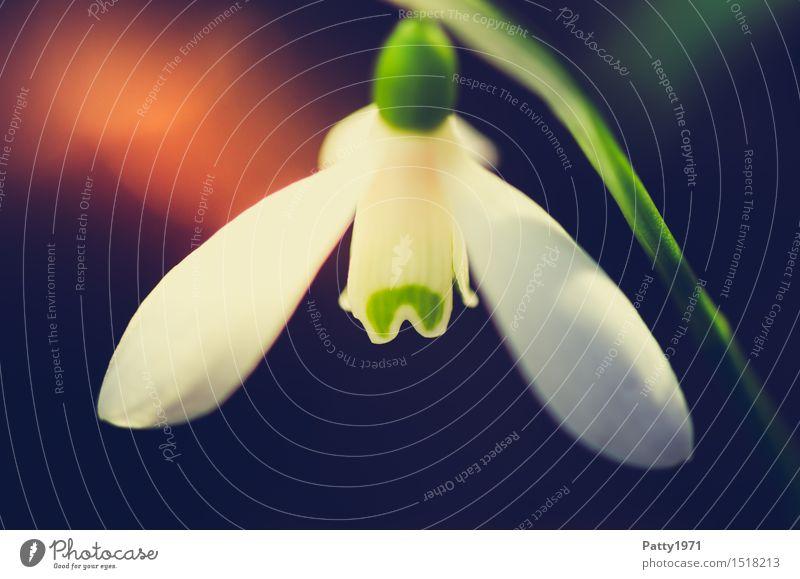 Schneeglöckchen Natur Pflanze grün weiß Blume Blüte Frühling Blühend Frühlingsgefühle Wildpflanze